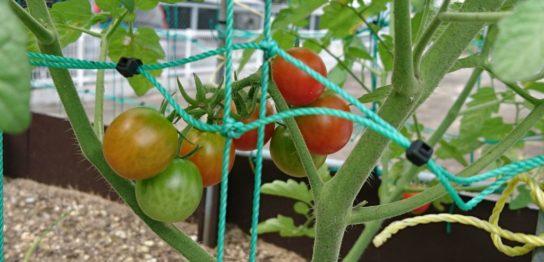 熟しつつあるプチトマト